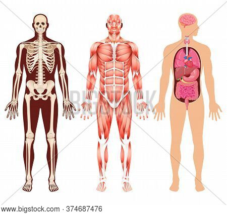 Human Organ Skeleton And Muscular System Vector Illustrations.