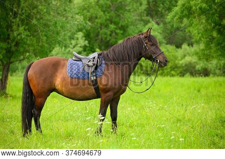 The Saddled Bay Horse Is Standing In The Grass Against The Background Of Green Trees.