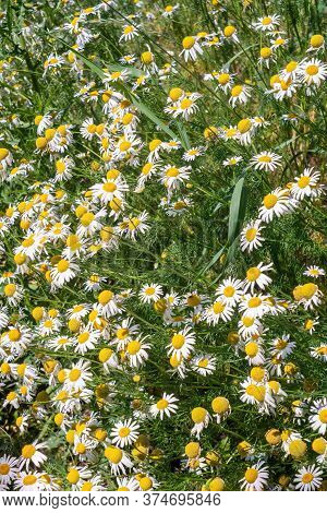 Chamomile Blossoms In The Summer Meadow. Close View.