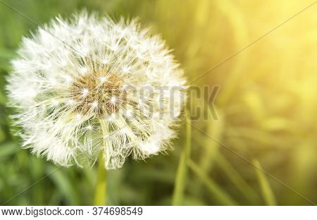 Macro Dandelion Flower Head With Seeds And Copy Space And Sunlight. Stock Photo.