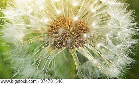 Macro Dandelion Flower Head With Seeds And Sunlight. Stock Photo.