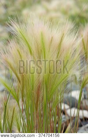Fluffy Grass Of Hordeum Jubatum Or Foxtail Barley, Bobtail Barley. Delicate Summer Background