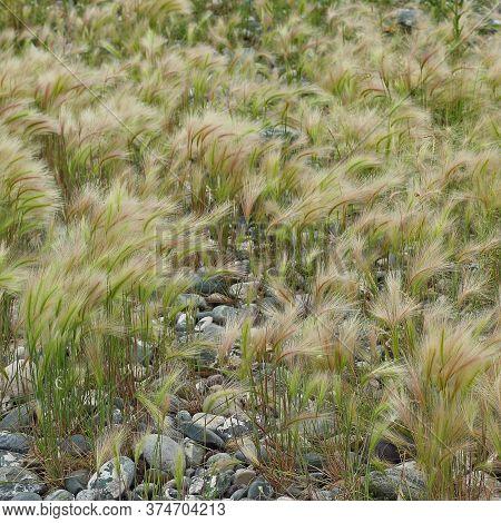 Fluffy Grass Of Foxtail Barley Or Hordeum Jubatum, Bobtail Barley Grows On Pebbles. Summer Natural B