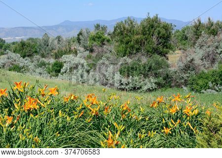 Colorado Front Range Landscape With Bed Of Ornage Daylily Flowers Looking Towards Rocky Mountains Fr