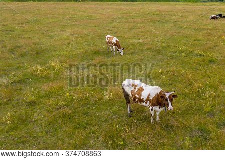 Two Brown And White Spotted Cows Graze In A Field. A Small Flock Of Sheep Grazes Near The Cows. Shoo
