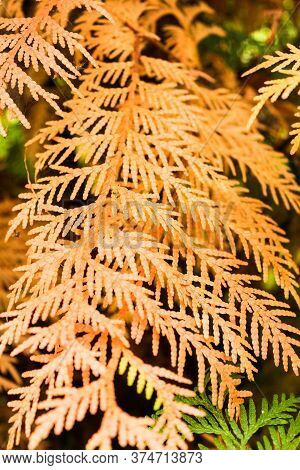 Thuja Orange Branch. Nature And Plants In The Summer.