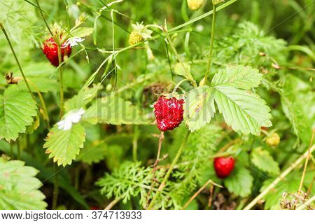 Berries Of Wild Strawberry In The Grass. Nature And Plants In The Summer.