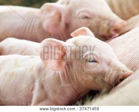 Newborn Pigs Feeding