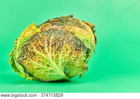 Rotten Cabbage, Green Background. Head Of Moldy Cabbage, Copy Space. Unsuitable Inedible Food For Co