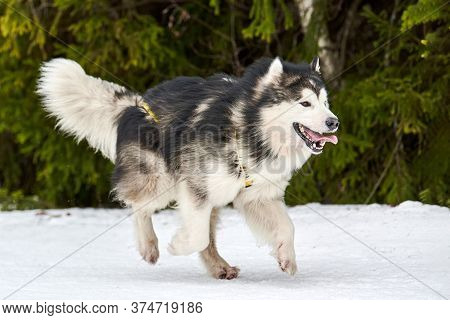 Running Malamute Dog On Sled Dog Racing. Winter Dog Sport Sled Team Competition. Alaskan Malamute Do