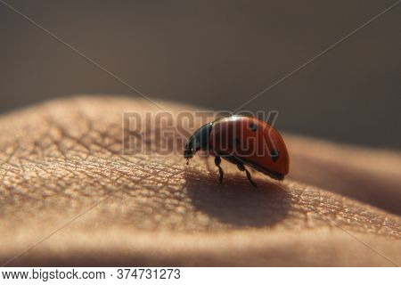 Ladybug (coccinella) On Hand Close-up.a Ladybug Crawls Over A Girl's Hand In The Sunset Light.