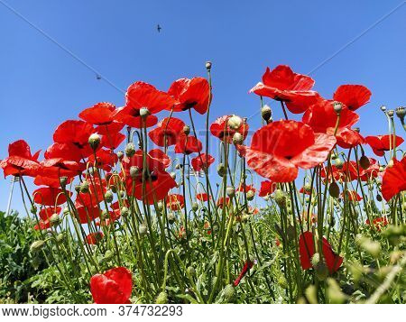 Blooming Bright Red Poppies On The Field. Wild Beautiful Flowers. Blue Sky In The Background. Tender