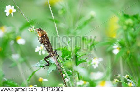 Oriental Garden Lizard (calotes Versicolor) - Garden Lizards Are Relaxing On Tree Branches, Camoufla