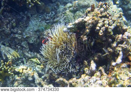Little Clownfish In Actinia. Coral Reef Underwater Photo. Nemo Fish In Anemone. Tropical Seashore Sn