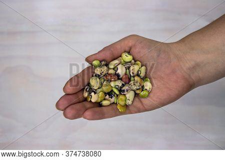 Green Bean Pile In Female Hand Top View Photo. Phaseolus Bean Texture. Kidney Bean Handful. Healthy