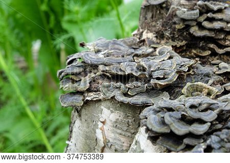 Mushrooms On A Tree Trunk Shallow Depth Of Field, Trunk With Mushrooms, Photo Of Mushrooms On Tree T