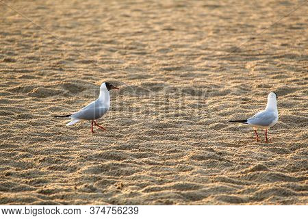 Two Seagulls Walk Along The Sea Coast In The Early Morning. Seagulls Walk At Sunrise On The Sandy Se