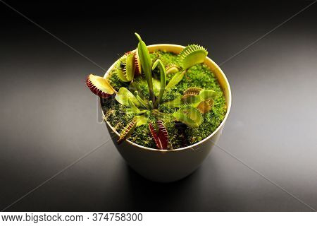 Predatory Flower Venus Flytrap In A Pot On A Black Background. Predatory Flower Dionaea. Carnivorous