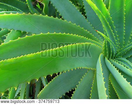 Aloe Vera Leaves In Closeup Used For Dandruff Problem
