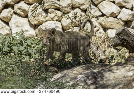 A Young Asian Lion Cub In Its Compound In The Jerusalem, Israel, Zoo.