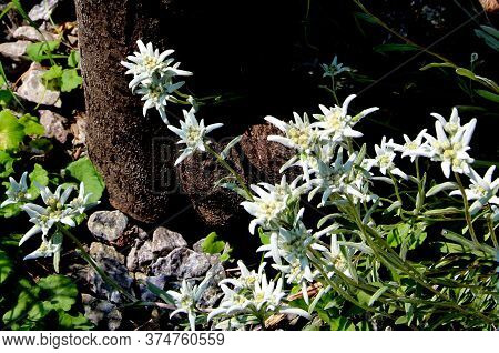 Group Of Edelweiss With Its Wooly Beige Bracts And Downy Green Leaves Are Growing Around Old Stump.