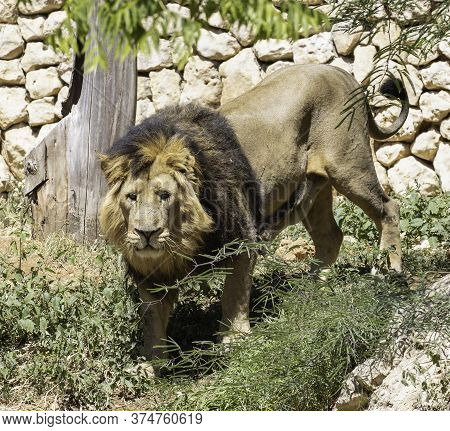 An Impressive Adult Male Asian Lion In Its Compound In The Jerusalem, Israel, Zoo.