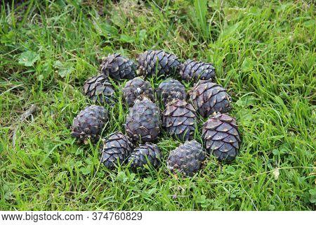 The Cedar Pine Cones In The Grass Shaped Like A Cedar Pine Cone