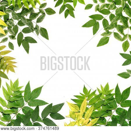 Green and yellow leaves on a white background. Acacia leaves