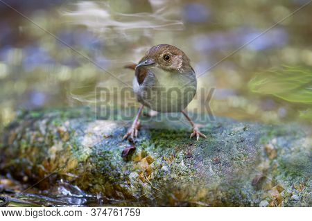 Beautiful Adult Abbott\'s Babbler, A Cute Bird, Low Angle View, Front Shot, Foraging In The Morning