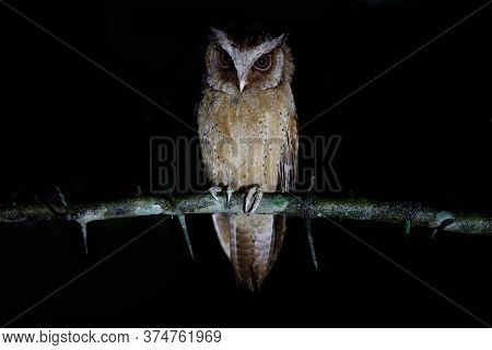 Closeup Nocturnal Bird, White-fronted Scops Owl, High Angle View, Front Shot, Sitting And Looking, O