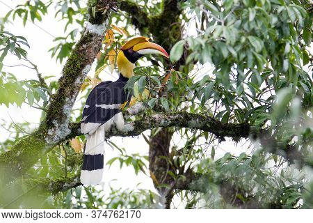 Beautiful Hornbill Bird, Adult Female Great Hornbill, High Angle View, Front Shot, Sitting On The Br