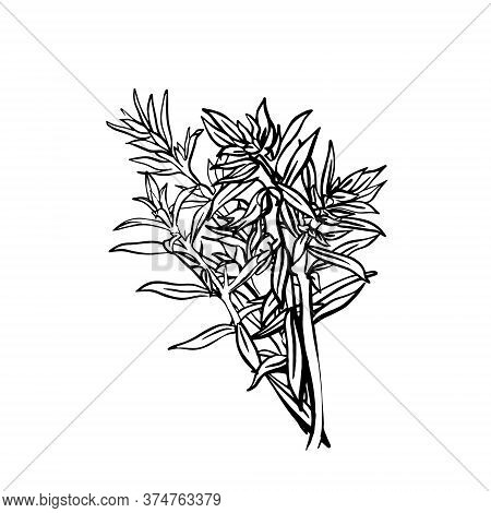 A Sprig Of Savory Isolated On A White Background. French Herbs. Flavorful Seasonings And Spices. Han