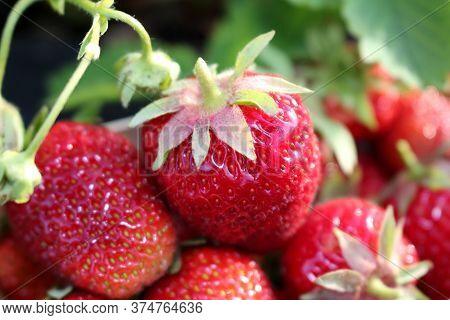 Beautiful Photo Of Strawberries Growing In The Garden