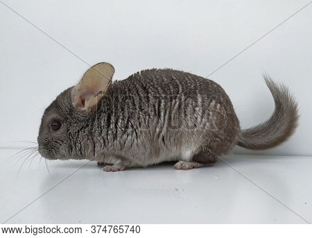 Cute Little Hetero-beige Chinchillas. Fluffy Rodent With Beautiful Gray Fur On A White Background In