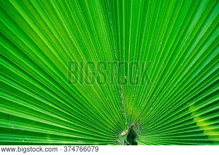 Close Up Of Emerging Texture And Pattern Background With Beautiful Green Palm Leaf