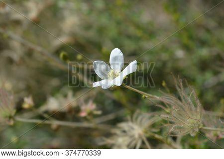 Ache Plume Flower And Seed Head - Latin Name - Fallugia Paradoxa