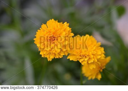 Tickseed Solena Compact Gold - Latin Name - Coreopsis Grandiflora Solena Compact Gold