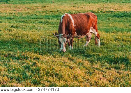 In A Carpathian Village, A Cow Grazes On A Meadow In A Household. Breeding Cows In The Countryside.