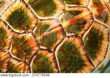 Shell Of Hawksbill Sea Turtle