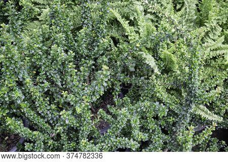 Beautiful Green Leaves Plant In Resort Garden, Stock Photo