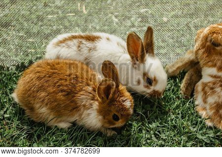 A Group Of Domestic Rabbits Sitting On Straw In A Hutch.little Rabbits With Mum Eating Grass.newborn