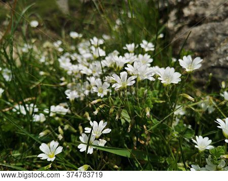 White Flowers In The Mountains -  Field Chickweed (cerastium Arvense)