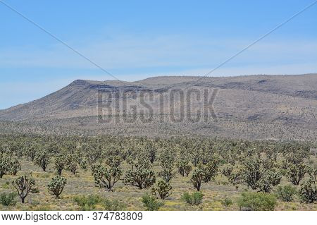 Joshua Tree Cactus In The Sonoran Desert, Arizona, Usa