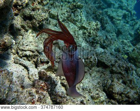 Molluscs, Type Mollusca. Cephalopods. Order Squid. Cuttlefish Squid.
