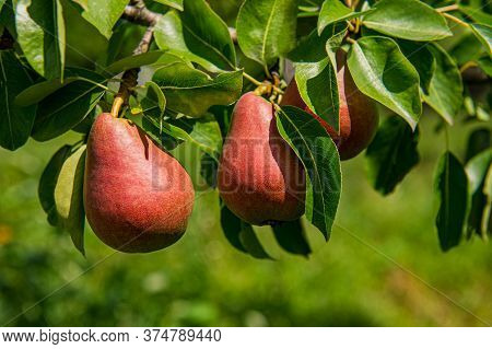 Ripe Pears Hang On A Branch Covered With Green Foliage. Summer Season.