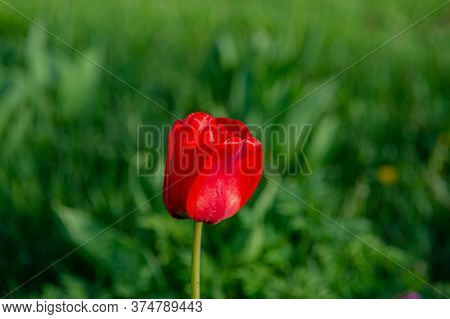 Blooming Red Tulip On A Blurry Green Background In The Garden. Summer Season. Web Banner.