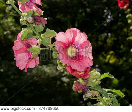 Blooming Pink Flowers Of Forest Mallow On A Blurry Dark Background In The Garden. Summer Season.