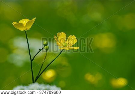 Blooming Yellow Flowers Caustic Ranunculus On A Blurred Green Meadow Background. Summer Season. Web