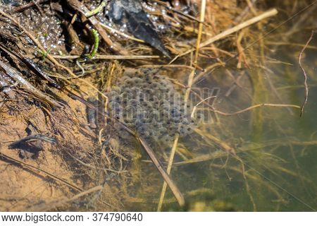 Frog Caviar In The Water. The Birth Of Frog Tadpoles In The Pond