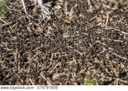 Many Ants Close-up. A Huge Army Of Ants Is Building An Ant Hill On The Field.